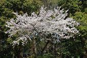 Flor de cerejeira em Tóquio