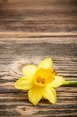 picture of jonquils  - Yellow jonquil flower on rustic wooden background - JPG