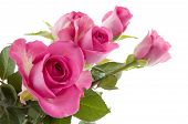 pic of pink rose  - Beautiful pink roses in the studio on white - JPG