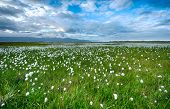 foto of swamps  - Field of cotton grass in a valley surrounded by sea and mountains in the eastern Fjords - JPG
