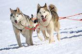 A Husky Sled Dog Team At Work
