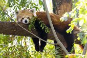 picture of panda  - Red panda or Lesser panda (Ailurus fulgens) is resting on a tree
