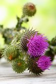 pic of scottish thistle  - Thistle flowers on nature background - JPG