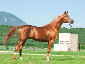 Exterior Of Arabian Chestnut  Stallion At The Mountain Background.