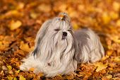 Shih tzu dog autumn portrait.