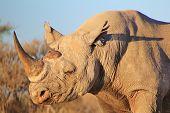 Rhino, Black - Wildlife Background from Africa - Endangered Species