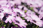 Close-up Of Purple Osteospermum Daisy Meadow