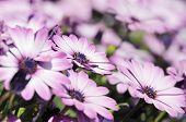 Close-up Of Purple Osteospermum Daisy Meadow