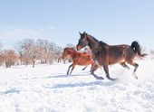 Horses running down hill in a snowy pasture in bright sunshine