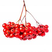 Winterberry Christmas Branch With Red Holly Berries Hanging Isolated On White Background. Festive Ro