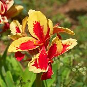 picture of gladiola  - colorful red yellow gladiola flower closeup - JPG
