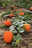 Pumpkins still on vines in field