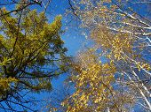 Yellow birch and green larch tops against blue sky background