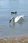 Schwan Auf Dem See