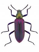 coloured darkling beetle from Madagascar