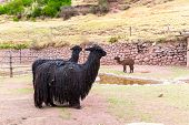Peruvian  Llama. Farm Of Llama,alpaca,vicuna In Peru,south America. Andean Animal.llama Is South Ame