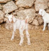 Cute White Goatling