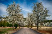 Blooming Bradford pear trees at cemetery