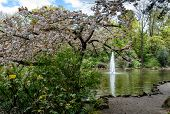 Flowering Cherry And Fountain