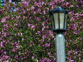 Lamp Post And Magnolia