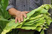 Farmer harvest tobacco