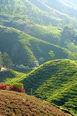 Close up of tea plantation