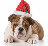 english bulldog puppy wearing christmas hat