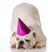 birthday dog - english bulldog wearing birthday hat isolated on white background