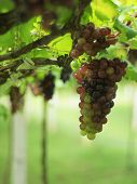 image of premature  - two colours of some premature grapes in the yard - JPG