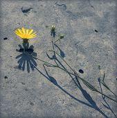 Dandelion and its shadow