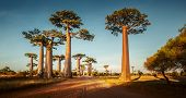 Baobab trees along the rural road at sunny day
