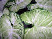 philodendron_plant