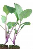pic of kohlrabi  - Two seedlings of  - JPG