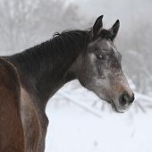 Nice Grey Moravian Warmblood In Winter