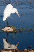 Gelbe abgerechnet egret