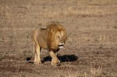 König der Löwen in der Masai mara