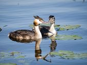 Swimming Great-crested Grebe (podiceps Cristatus) Female With Young Behind Her