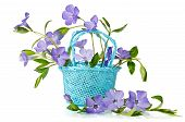 Blue Basket With Beautiful Flowers Periwinkle On A White Background