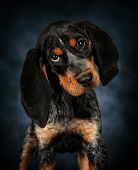 The Coon Hound