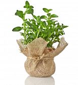 Mint herb bouquet growing in terracotta flowerpot wrapping bag cloth isolated on a white background