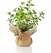 Fresh oregano herb seedling in terracotta flowerpot wrapping bag cloth isolated on white background