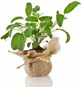 fresh  sage salvia plant growing in brown terracotta pot wrapping bag cloth isolated on white background