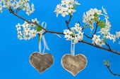 Wood hearts hanging from branch of pear tree with blossoms