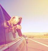 a funny basset hound with her head out of a car window and tongue out done with a vintage retro toned instagram filter