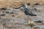 Common Greenshank (tringa Nebularia) On Wet Mud Flats