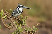 Pied Kingfisher (ceryle Rudis) On A Lovely Overhanging Mangrove Branch