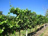 Close to the grape vine