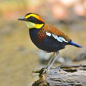 Banded Pitta Bird