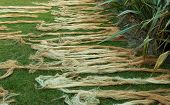 foto of flax plant  - Some New Zealand flax drying on the ground - JPG