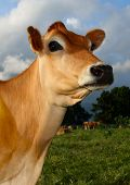 picture of dairy cattle  - Mature Jersey Cow in Kikuyu Field with herd in background on sunny day - JPG